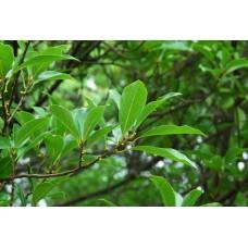Litsea olie (Litsea citrata)