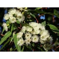 Eucalyptusolie (Eucalyptus globulus)