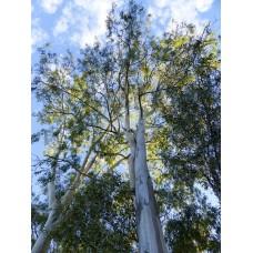 Eucalyptus etherische olie Kruidenweide 50ml