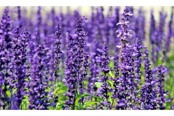 Lavendel olie 100ml