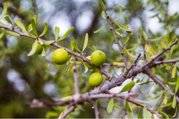 Arganolie (Argania spinosa oil)