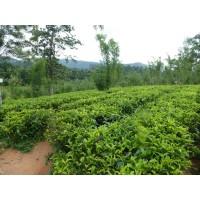 Groene thee - Japanse sencha - 250g