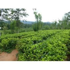Groene Sencha thee - Kruidenweide - 250g